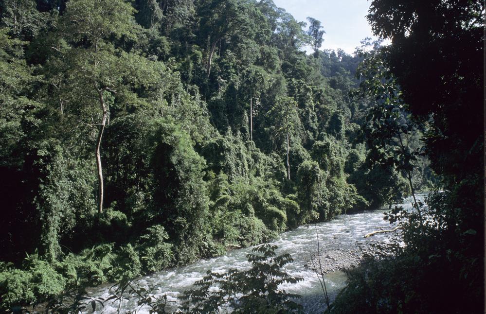 Bukit Lawang, Sumatra. Lowland rainforest Sumatra