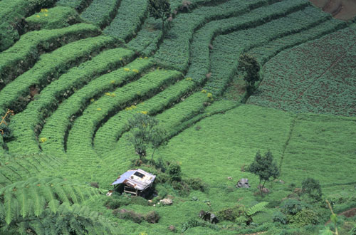 Terraces growing cabbages and carrots, Dieng Highlands, Java Indonesia