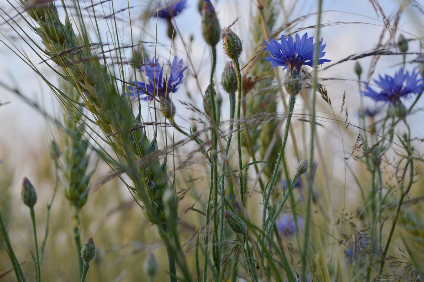 Corn field southern Slovakia