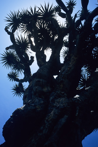The Dragon Tree, Icod de los Vinos, Tenerife