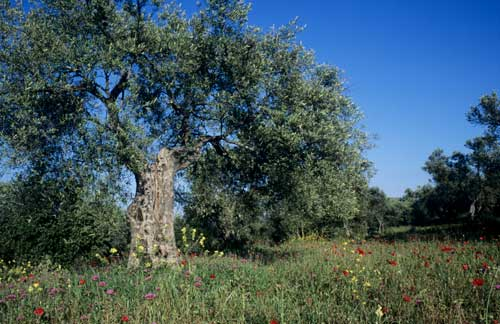 Olive tree, Andalucia Spain