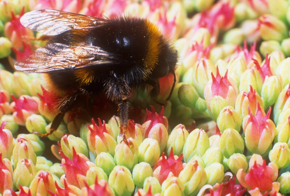 Bumble bee Bombus terrestris on iceplant, Wales