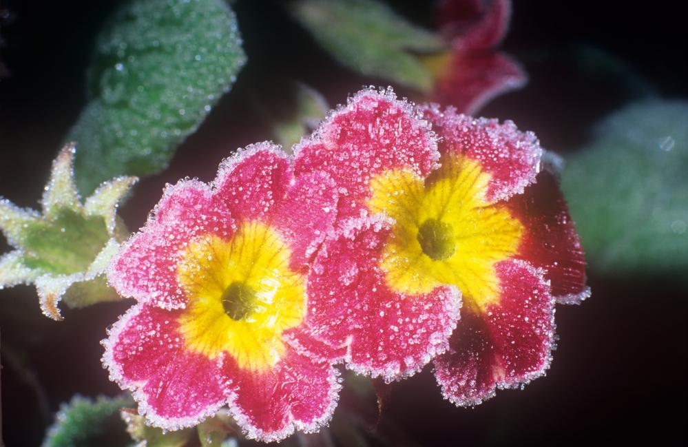 Primula Primrose Aberbechan Wales UK