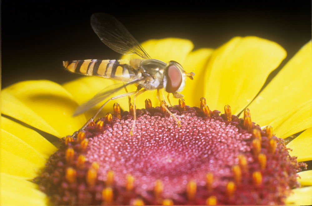 Hoverfly Episyrphus balteatus Wales