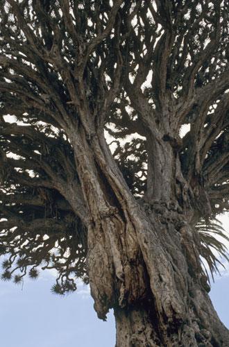 The Dragon Tree, Icod de los Vinos, Tenerife