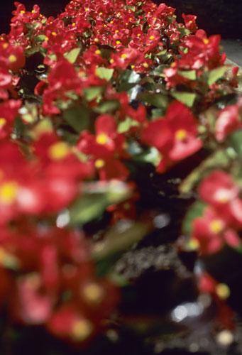 Begonias, Oxford UK