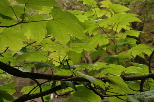 Sycamore leaves, Cumbria