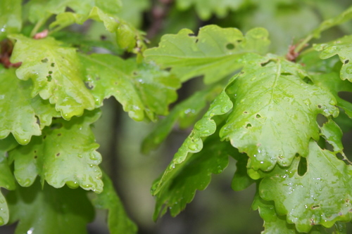 Oak leaves, Castel y Bere
