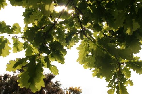 Oak leaves, Cumbria