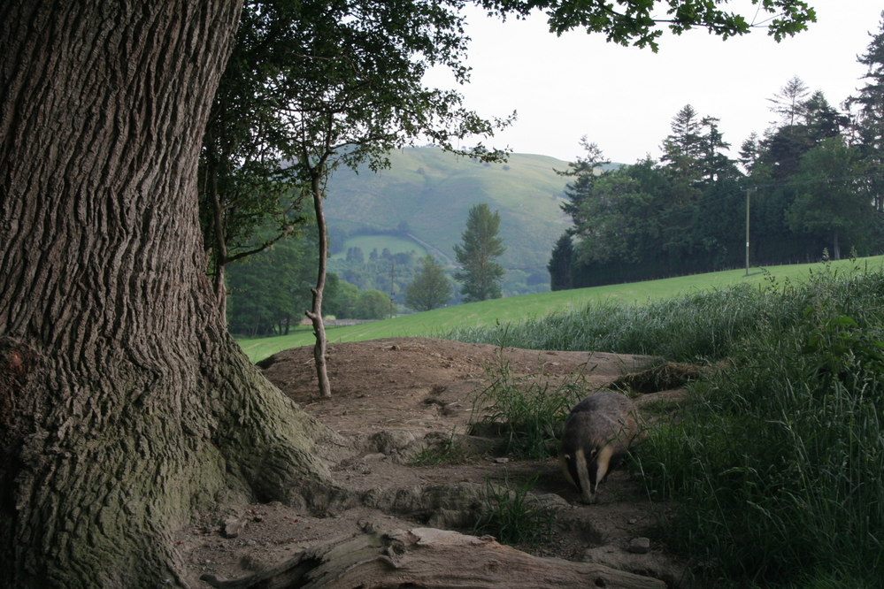 Badger at set in Wales