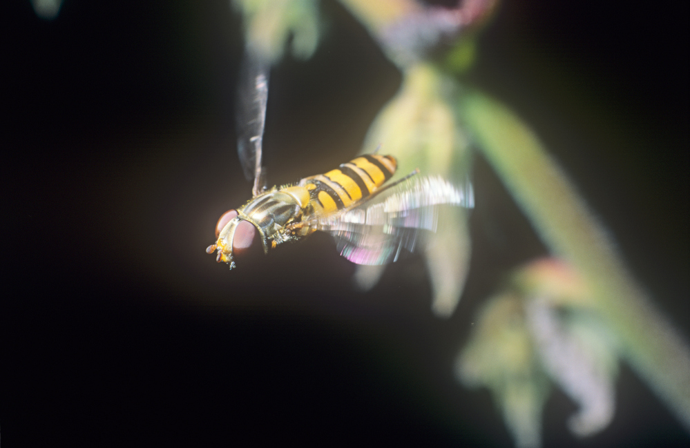 Hoverfly in flight Oxford UK